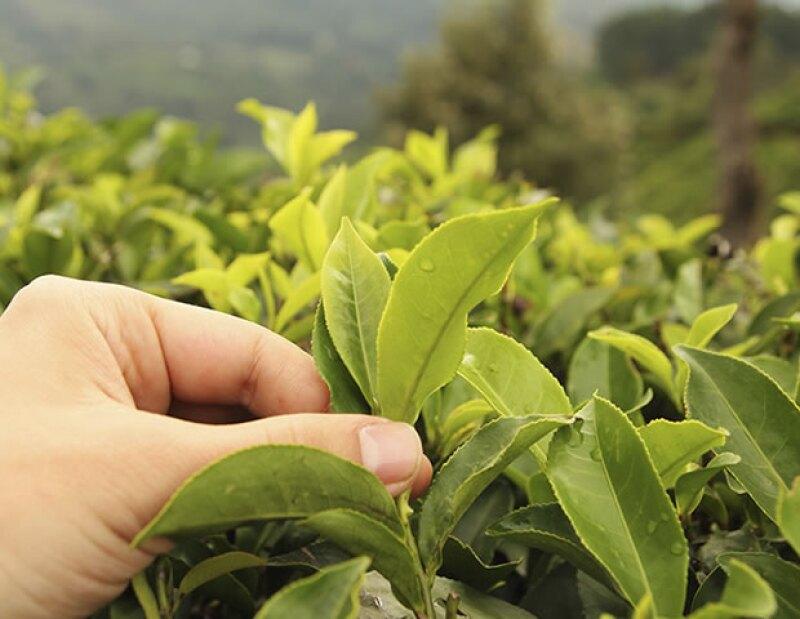 En la medicina tradicional china e india, el té verde se usaba como diurético, astringente y para curar enfermedades cardiovasculares.