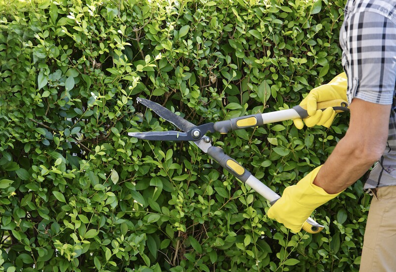 Gardener Trimming Hedge In Garden