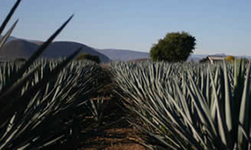 Afecciones fitosanitarias graves amenzan las prácticas productivas de millones de plantas de agave de Jalisco. (Foto: Archivo)