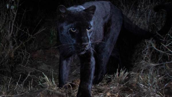 Leopardo negro.
