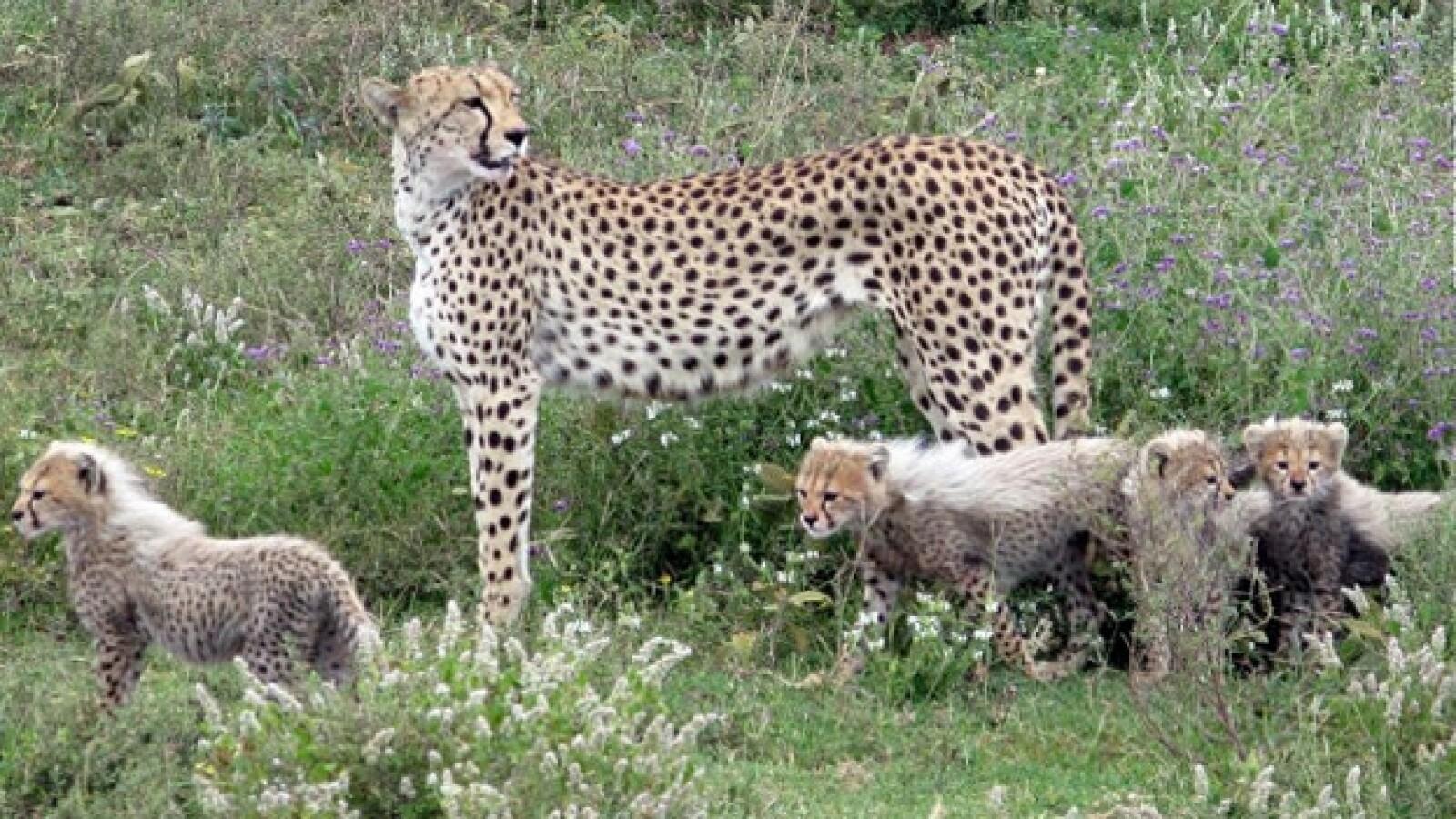 Tanzania: Take a ride on the wild side chita