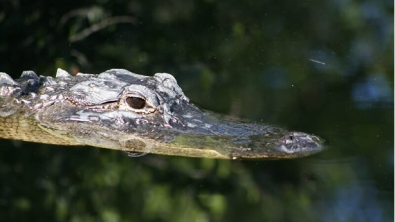 cocodrilo, australia