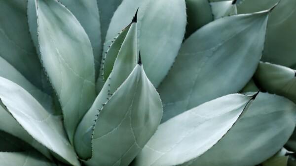 Crecimiento por agave.