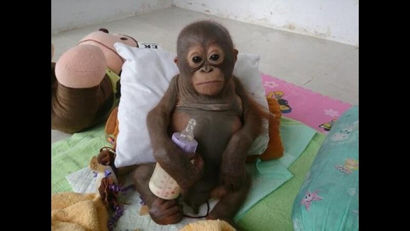 Budi orangutan rescate