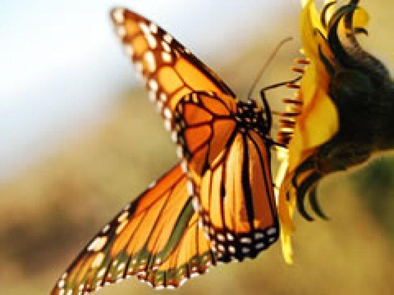 La mariposa monarca a pesar cruzar miles de kilómetros para reproducirse esta en peligro por la contaminación ambiental.  (Foto: Especial )