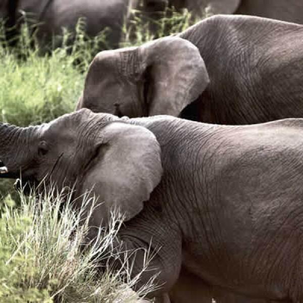 El Ngorongoro es un microsistema dentro de otro microsistem,a que son las planicies del este de África. Las excursiones se realizan de día y sólo se permite pasar seis horas dentro de la boca del volcán ya que leones, chitas y hienas salen a cazar por la