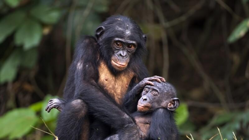 bonobos congo