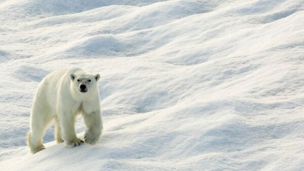 Osos polares.