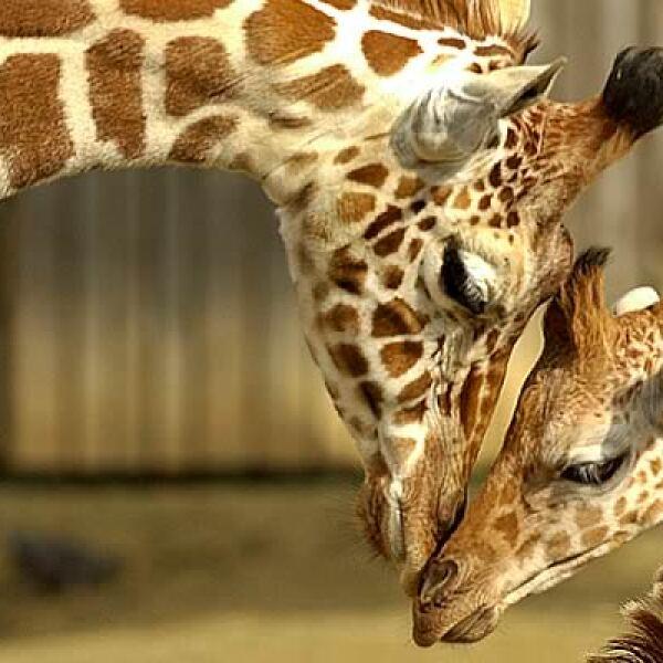 La jirafa de Rothschild es una subespecie de la jirafa Masai, de África. Debido a la desertización y a la caza excesiva, sobrevive en parques nacionales como el Zoológico de Barcelona, donde se reproduce en cautiverio.