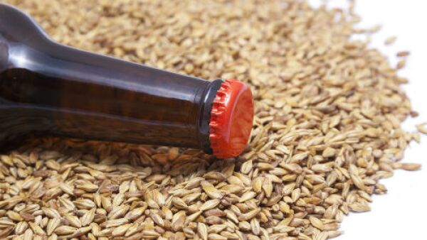 grano para cerveza