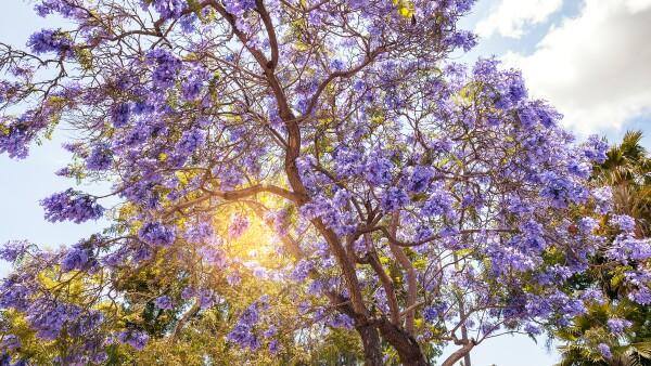 Jacaranda Tree in San Diego
