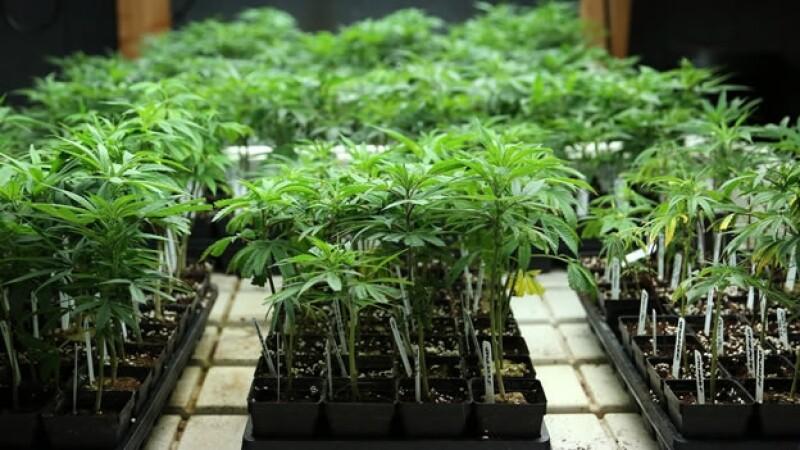 plantas de marihuana en colorado