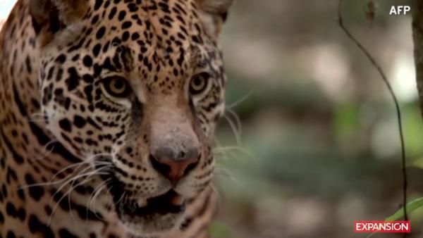 Crece-población-jaguar-México-AFP