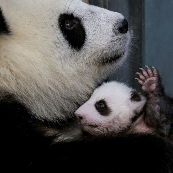 A handout photo shows female Chinese panda bear Meng Meng with one of the panda twins at Zoo Berlin