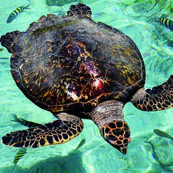 La tortuga boba o caguama convive en armonia con peces del Caribe en el acuario de la isla San Martín.