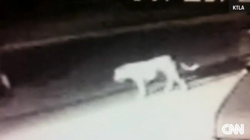 El animal que fue captado por un video de circuito cerrado, rondando las calles de Norwalk, California