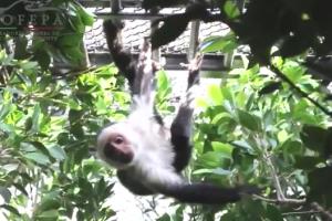 Mono-capuchino-Reforma-PROFEPA
