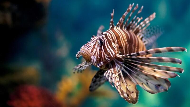 pez león especies invasoras