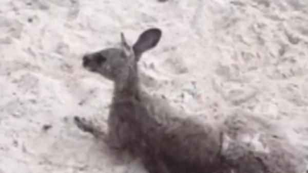 Policías salvan a un canguro de ahogarse en el mar