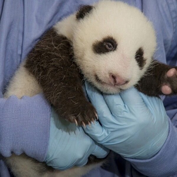 panda, san diego, nombre, china