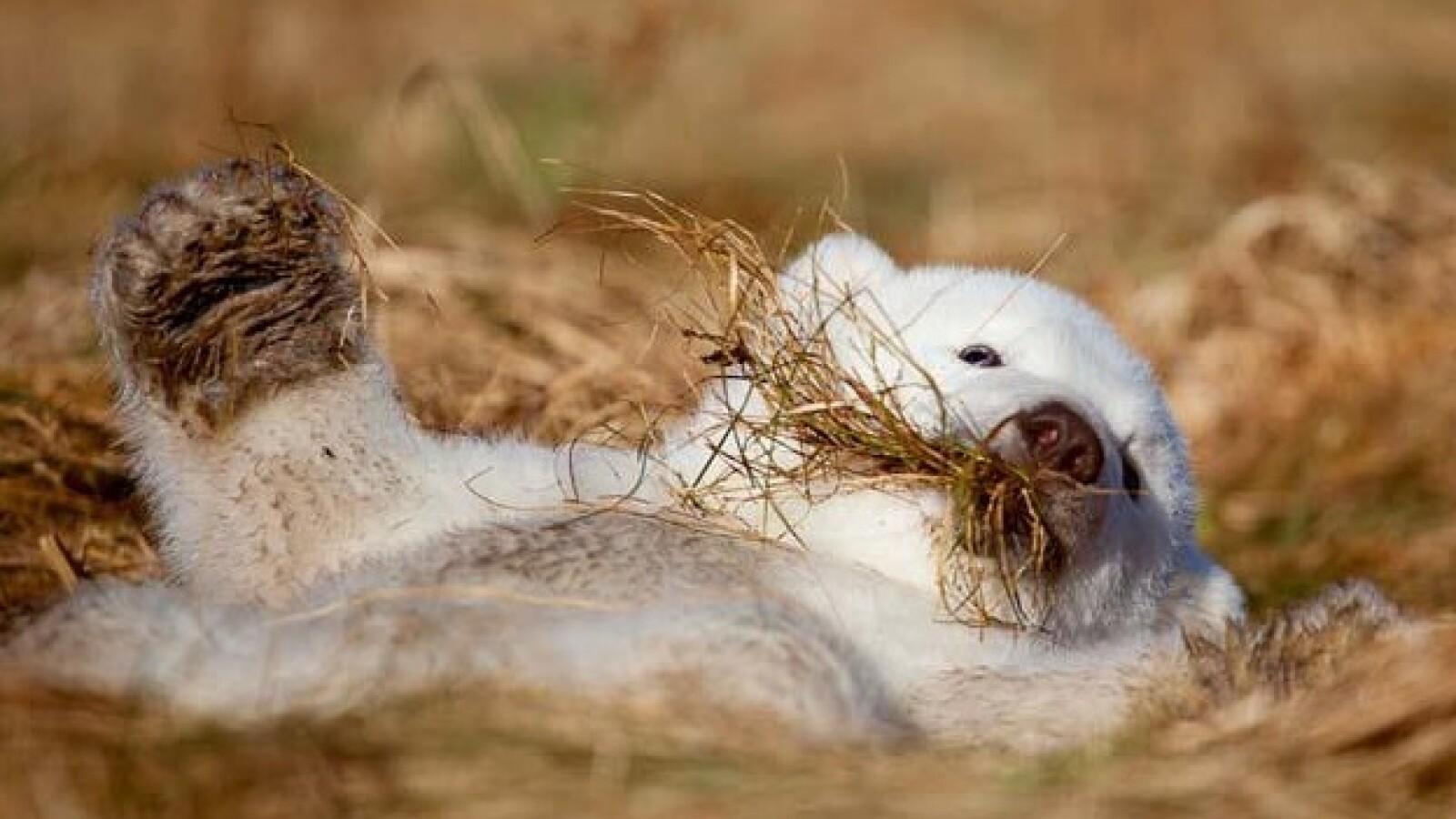 oso polar siku