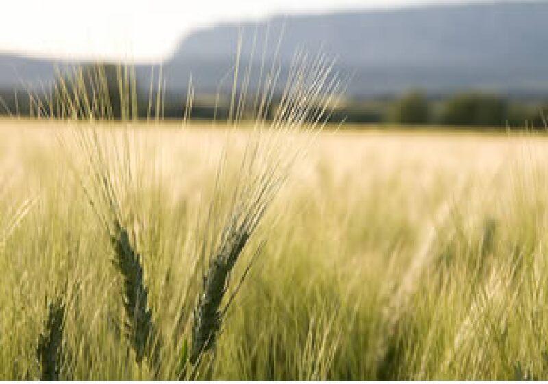 México comenzará la experimentación de trigo transgénico para consumo humano. (Foto: Jupiter Images)