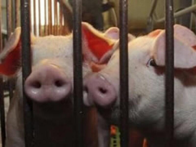 La carne de cerdo no porta el virus de la influenza A H1N1, según autoridades sanitarias (Foto: Reuters)