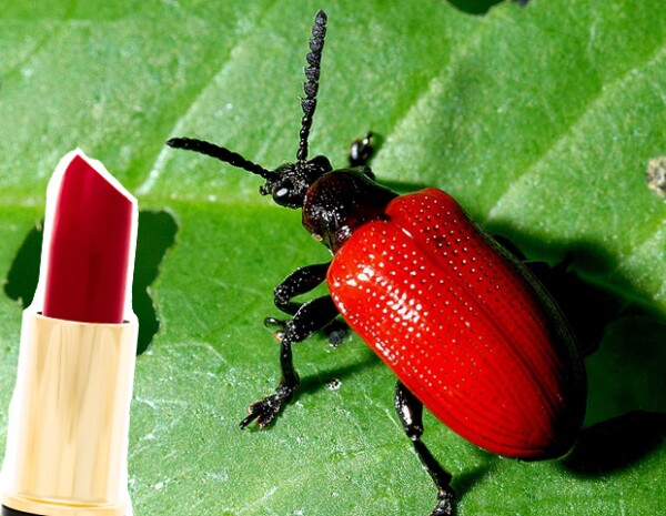Para extraer el carmín, es necesario aplastar escarabajos de cochinilla.