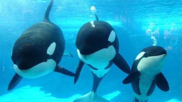 Orca asesina Seaworld