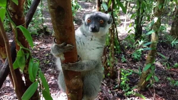 Lémures y bosques, las víctimas de la agresiva deforestación en Madagascar