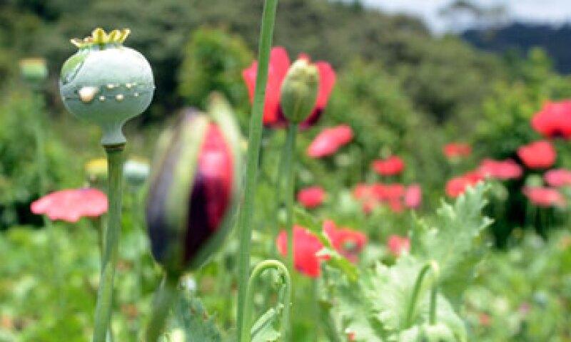 Guerrero se ubica en el primer lugar de producción de opio a nivel mundial, junto con Afganistán. (Foto: Cuartoscuro/Archivo )
