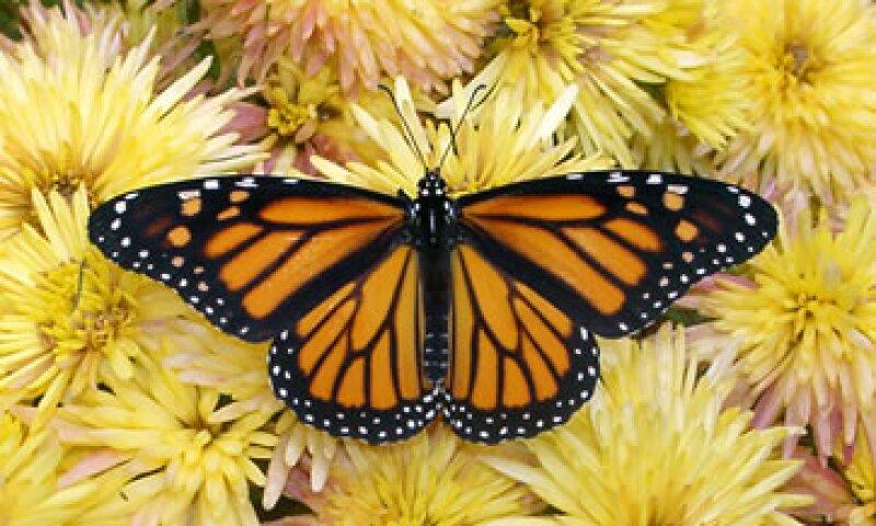 Una monarca típica vive dos meses, y les lleva de tres a cuatro generaciones completar su regreso al norte. (Foto: AP)