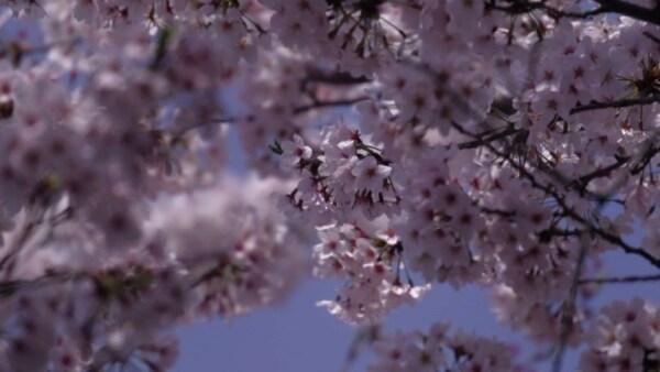 Predecir la floración de cerezos es una importante misión en Japón