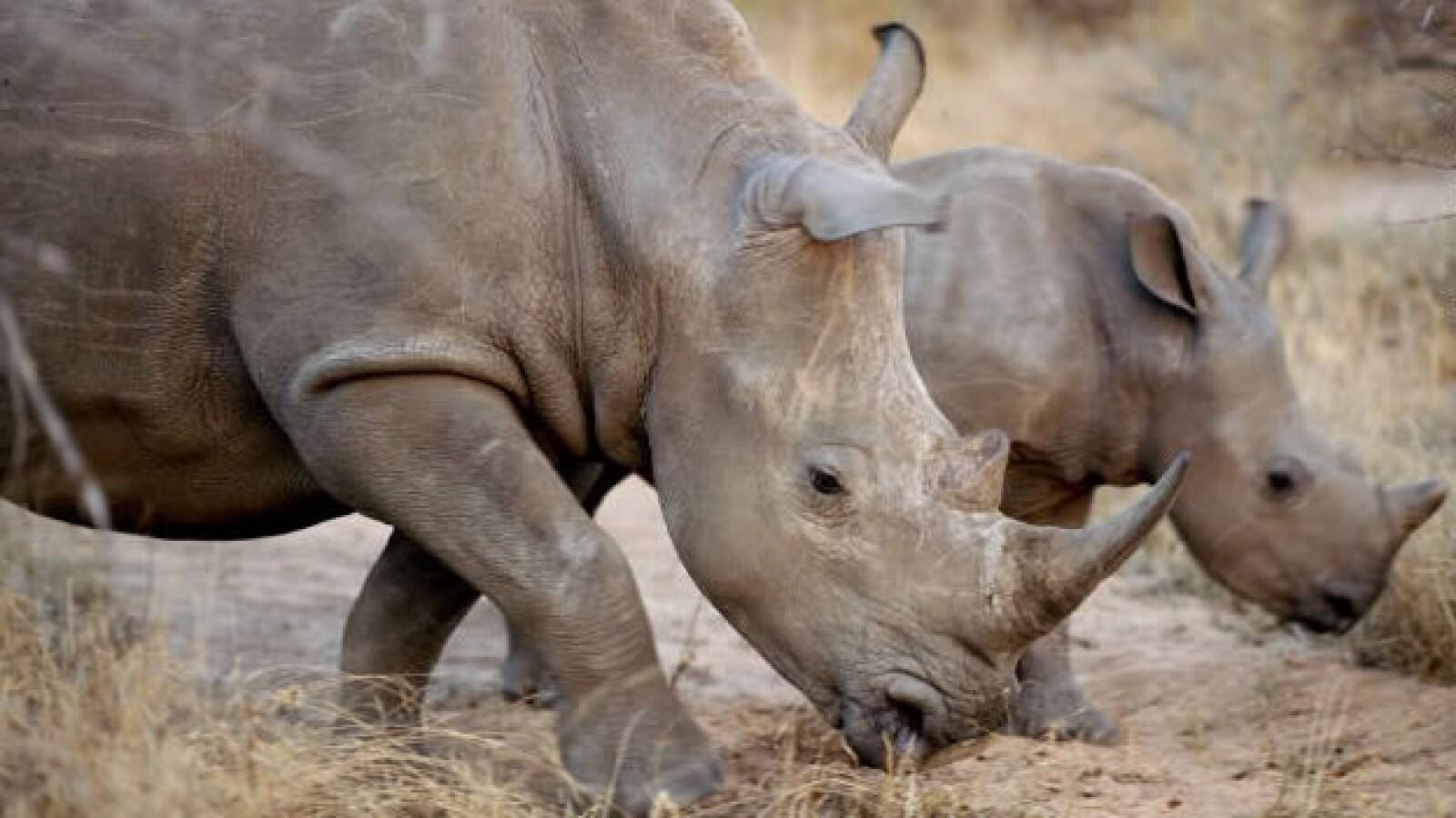 rinocerontes caza ilegal especies 02