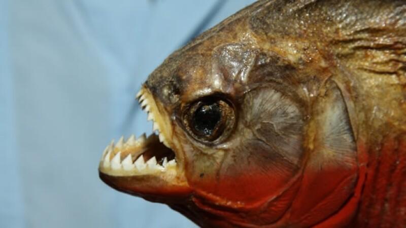 piraña pez