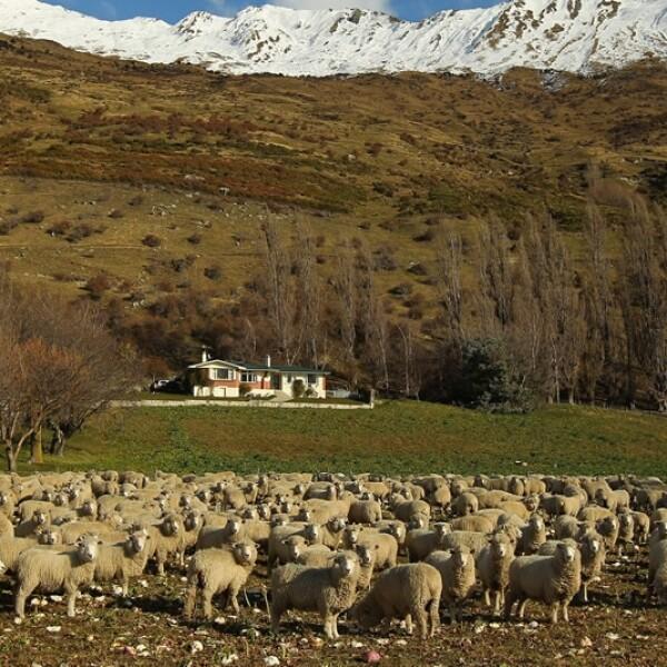drone pastoreo ovejas usos
