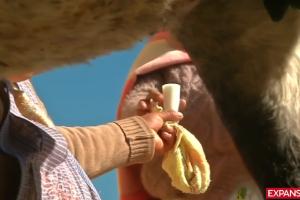 Indígenas bolivianos beben leche de burra para evitar enfermedades respiratoria