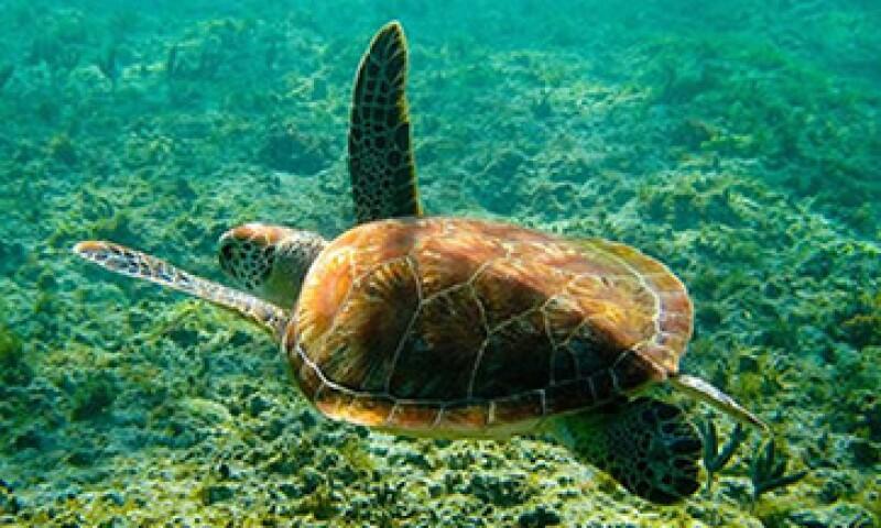 Las aguas de Akumal contienen una gran diversidad de especies marinas. (Foto: tomada de Facebook/Riviera Maya)
