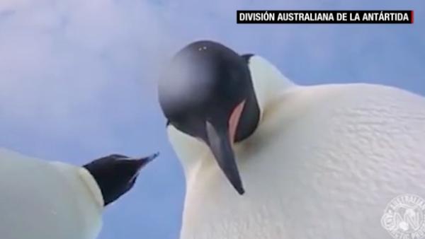 Estos pingüinos descubren una cámara y se toman una 'selfie'