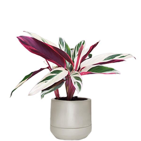 PLANTA CON MACETA Stromanthe %22Tri-Color%22 $ 750.00.jpg