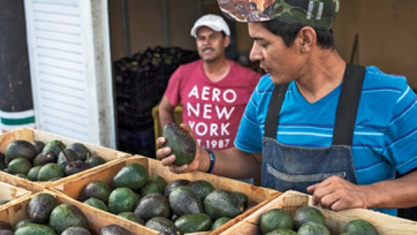 El valor de las exportaciones de aguacate en Michoacán en 2013 fue de 990.9 millones de dólares. (Foto: Oswaldo Martínez)