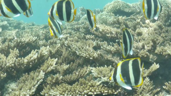 """El cambio climático terminó por """"blanquear"""" a estos corales de Australia"""