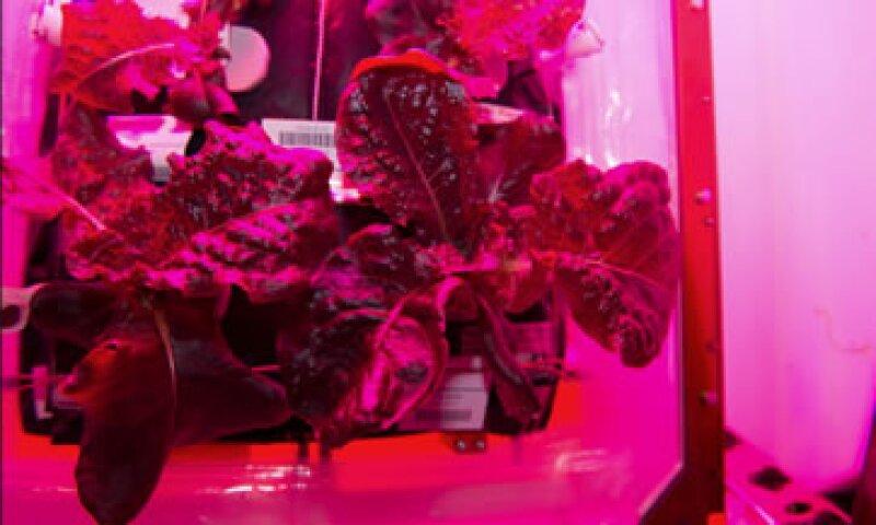 """Esta especie es conocida como """"lechuga romana roja"""", producida en la estación espacial de la NASA. (Foto: Twitter/@astro_kjell)"""