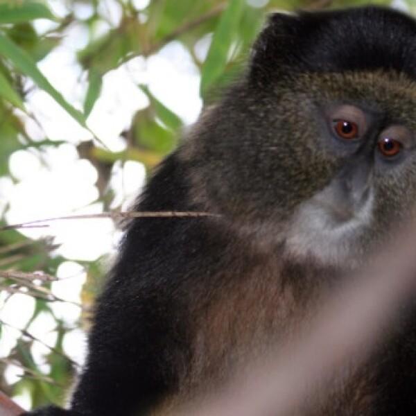 galeria simios ruanda