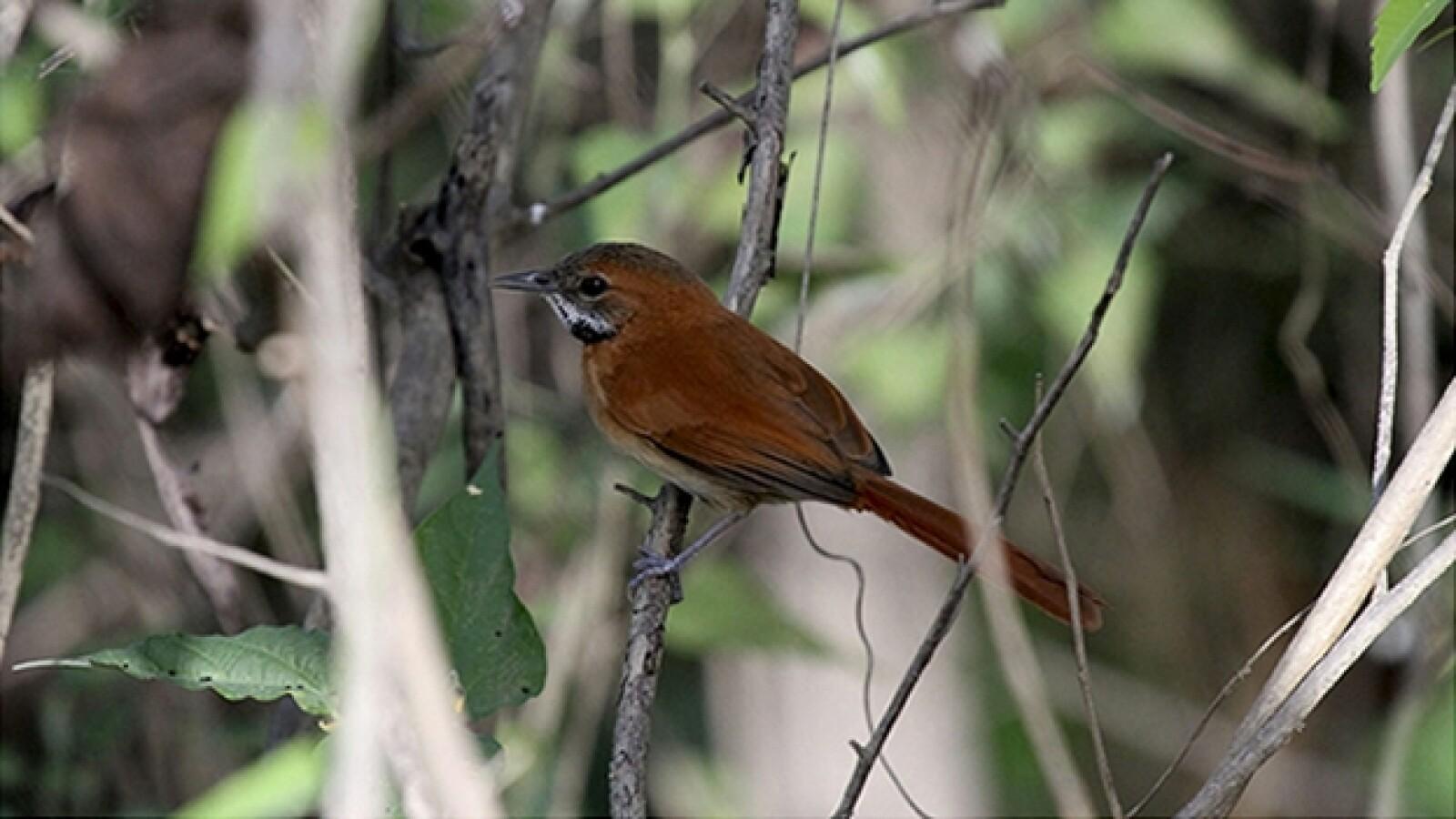 Amazonas aves especies amenazadas 02