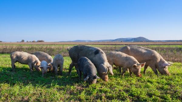 Consumo porcino