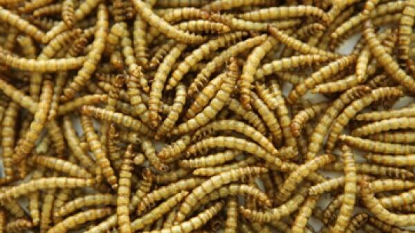 La ONU destaca que 2,000 millones de personas en el mundo complementan sus dietas con insectos. (Foto: Getty Images)