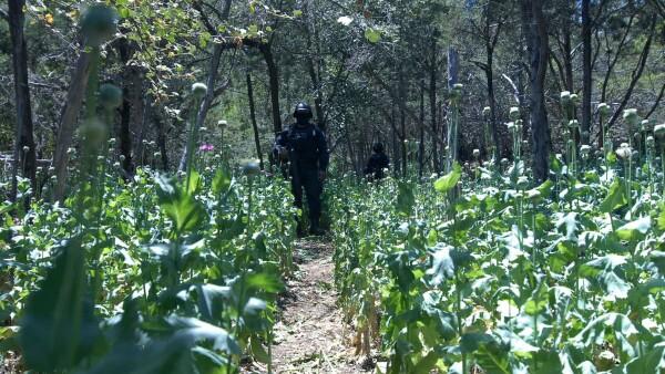 Para obtener autorización para la producción, México debe pedir un permiso especial a la Junta Internacional de Fiscalización de Estupefacientes, órgano de la ONU.