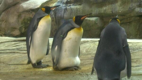 Pingüinos gay adoptan a su primer huevo tras haber incubado varias piedras