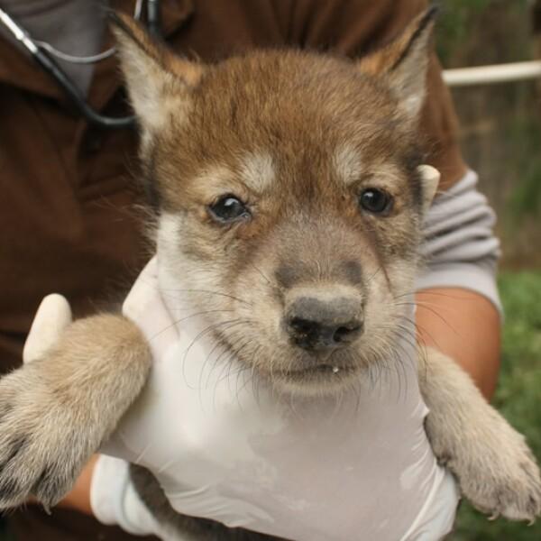El lobo mexicano cuenta con una población menor a 300 ejemplares, de los cuales solo 86 se encuentran en vida silvestre